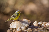 Yellow fronted Canary (Crithagra mozambica) standing at waterhole in Kruger National park, South Africa
