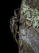 Giant Water Scorpion (fam. Belostomatidae), Madre de Dios, Peru