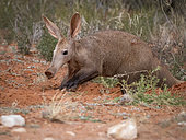Aardvark (Orycteropus afer), adult male, Tswalu Kalahari, South Africa, August