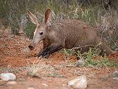Oryctérope (Orycteropus afer) adulte mâle creusant un trou, Tswalu Kalahari, Afrique du Sud