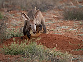 Aardvark (Orycteropus afer), adult male digging a hole, Tswalu Kalahari, South Africa