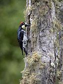 Acorn Woodpecker (Melanerpes formicivorus), male on lichen-covered oak trunk, Chiriqui Highlands, Panama