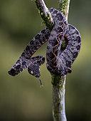 Amazon Tree Boa (Corallus hortulanus), juvenile, Madre de Dios, Peru