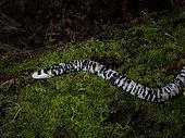 Speckled Worm Lizard (Amphisbaena bassleri), Yasuni National Park, Ecuador