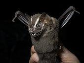 Greater fruit-eating bat (Artibeus lituratus), held by researcher, Madre de Dios, Peru