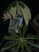 Black-and-white Owl (Strix nigrolineata), Cosanga, Ecuador, February