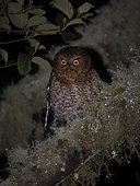 Bare-shanked Screech-Owl (Megascops clarkii), Volcan Baru National Park, Panama