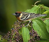 Bay-breasted Warbler (Setophaga castanea), feeding on berries before Spring migration, Isla Bastimentos, Bocas del Toro, Panama, April