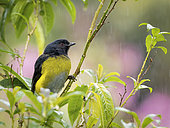 Black-and-Yellow Silky-flycatcher (Phainoptila melanoxantha), Talamanca Mountains, Costa Rica