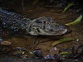 Black Cayman (Melanosuchus niger), Yasuni National Park, Ecuador