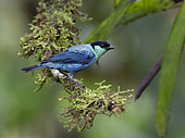 Black-capped Tanager (Tangara heinei), Mindo, Ecuador