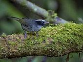 Black-cheeked Warbler (Basileuterus melanogenys), Chiriqui Highlands, Panama