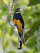 Black-throated Trogon (Trogon rufus), male bringing a large katydid prey to nest, Yasuni, Ecuador