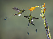 Booted Racket-tail (Ocreatus underwoodii), two birds feeding on flower, Tandallapa, Ecuador