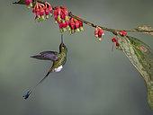Booted Racket-tail (Ocreatus underwoodii), feeding on flower, Tandallapa, Ecuador