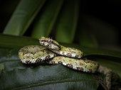 Eyelash Pit Viper (Bothriechis schlegelii), juvenile, Nusagandi, Panama, February
