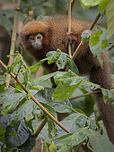 Brown Titi Monkey (Plecturocebus brunneus), young, Madre de Dios, Peru