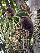 Brown Titi Monkey (Plecturocebus brunneus), feeding on palm fruit, Madre de Dios, Peru