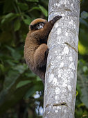 Brown Titi Monkey (Plecturocebus brunneus), climbing palm tree, Madre de Dios, Peru
