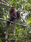 Brown Titi Monkey (Plecturocebus brunneus), two individuals calling from tree, Madre de Dios, Peru