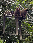 Brown Titi Monkey (Plecturocebus brunneus), three individuals calling from tree, Madre de Dios, Peru