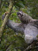Brown-throated Three-toed Sloth (Bradypus variegatus), Panama