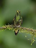 Buff-tailed Coronet (Boissoneaua flavescens), Mindo, Ecuador