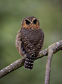 "Costa Rican Pigmy-Owl (Glaucidium costaricanum), showing ""false eyes"" on the back of the head, Chiriqui Highlands, Panama"