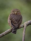 Costa Rican Pigmy-Owl (Glaucidium costaricanum), Chiriqui Highlands, Panama