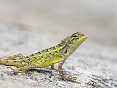 Common Garden Lizard (Calotes versicolor), Karnataka, India