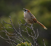 Cape Grassbird (Sphenoeacus afer), Cape Point, South Africa