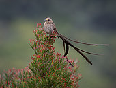 Cape Sugarbird (Promerops cafer), Western Cape, South Africa, July