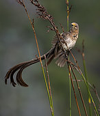 Cape Sugarbird (Promerops cafer), waving tail in territorial display, Western Cape, South Africa, July