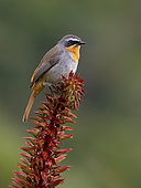 Cape Robin (Cossypha caffra), on sugar flower plant, Cape Town, South Africa
