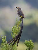 Cape Sugarbird (Promerops cafer), perched on erica bush, Cape Town, South Africa