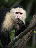 White-faced Capuchin (Cebus imitator), Lake Gatun, Panama