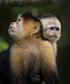 White-faced Capuchin (Cebus imitator), female with infant, Lake Gatun, Panama