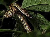 Checkerbelly Snake (Siphlophis cervinus), Yasuni National Park, Ecuador, February