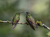 Chestnut-breasted Coronet (Boissonneaua matthewsii), two birds confronting each other, Ecuador