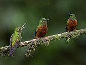 Chestnut-breasted Coronet (Boissonneaua matthewsii), three birds perched together, Ecuador
