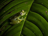Cascade Glass-frog (Sachatamia albomaculata), standing on leaf, Nusagandi, Panama