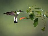 Collared Inca (Coeligena torquata), female in flight, Ecuador