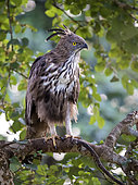 Crested Hawk Eagle (Nisaetus cirrhatus), Kabini Forest, India