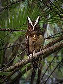 Crested Owl (Lophostrix cristata), Darien, Panama