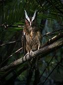 Duc à aigrettes (Lophostrix cristata) sur une branche, Darien, Panama