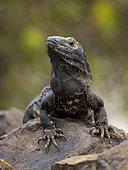 Spiny-tailed Iguana (Ctenosaura similis), female, Playa Bonita, Panama