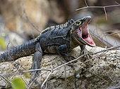 Spiny-tailed Iguana (Ctenosaura similis), male yawning, Playa Bonita, Panama