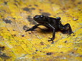 Green-and-black Poison-frog (Dendrobates auratus), very dark morph from Guna Yala, Panama, February