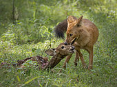 Dhole (Cuon alpinus) with Spotted Deer kill, Kabini Forest, India