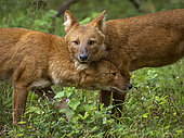 Dhole (Cuon alpinus) alpha male and female, Kabini Forest, India